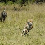 Cachorros de guepardo huyen de babuinos