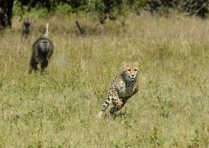 guepardo babuino