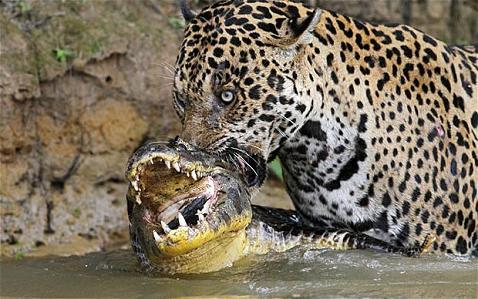 Jaguar cazando un cocodrilo en un río