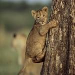 Manada de leones en un árbol