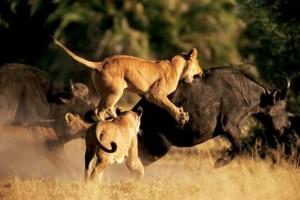 leones vs bufalos kruger