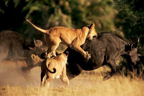 Lucha entre leones y bufalos en el Kruger (2014)