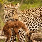 Curiosa escena con un leopardo y una cría de impala