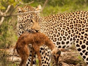 leopardo cria impala