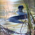¿La mayor serpiente mocasín de agua del mundo?