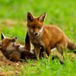 Hermoso vídeo de zorros jugando