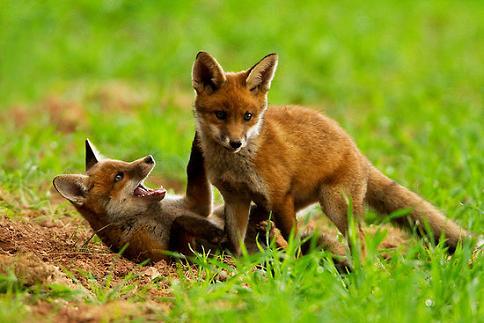 cachorros zorros jugando