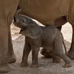 Nacimiento de un elefante salvaje