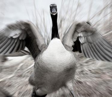 Ataque furioso de un ganso