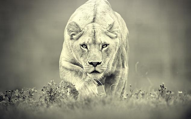Manada de leones cazando impalas