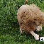 El león que juega al futbol