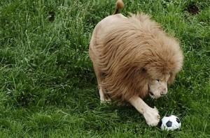 leon jugando futbol