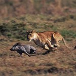 Jabalí acosando a una leona