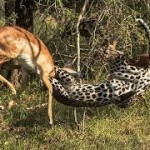 Increible leopado cazando un impala