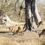 Leopardo hembra caza un impala (HD)