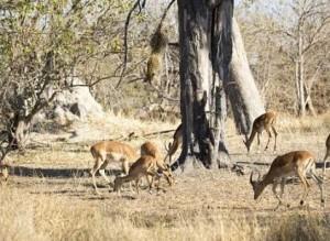 leopardo cazando impala arbol