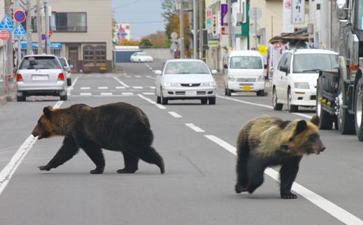 osos en la ciudad