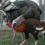 Pavos acosando a un gallo