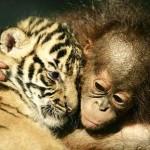 Tigre y orangután jugando