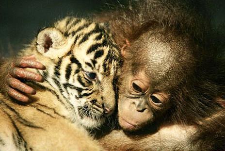 tigre orangutan