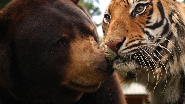 Tigre y oso jugando