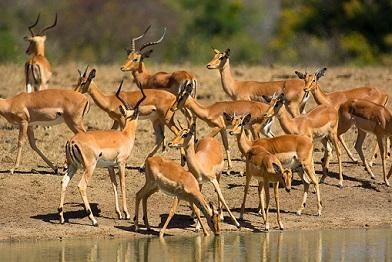 animales salvajes kruger impalas