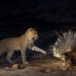 Duelo al sol entre leopardo y puercoespín
