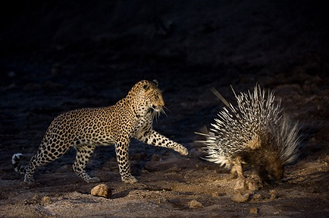 leopardo puercoespin