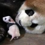 Emotivo encuentro de un bebé oso panda con su madre