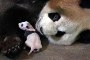 bebe oso panda y su madre