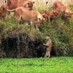 Cachorro de león cae al agua de cabeza