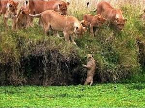 cachorro leon cae agua