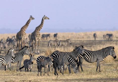 cebras jirafas katavi