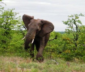 elefante atacando