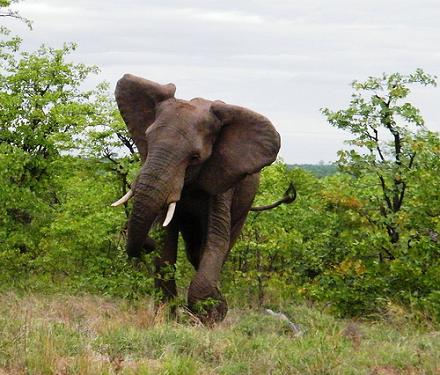 ¿Qué hacer cuando te ataca un elefante?