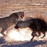 Guerpardo atacando a una hiena