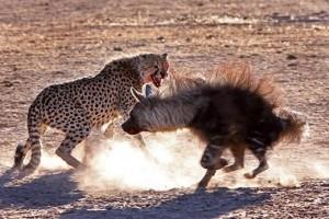 guepardo atacando hiena
