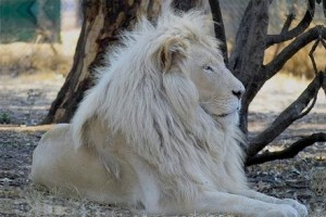 leon blanco reserva natural timbavati