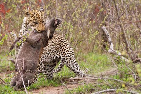 Leopardo intentando cazar jabalís
