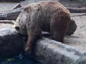 oso salva cuervo