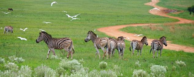 parque nacional karoo cebras