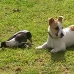 Perro y urraca jugando