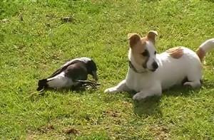 perro urraca jugando