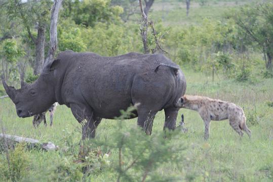 ¿Rinocerontes salvan a bufalo de las hienas?