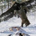 Tribus kazajas cazando con Aguilas Reales