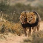 Grandes documentales: Los leones del Kalahari