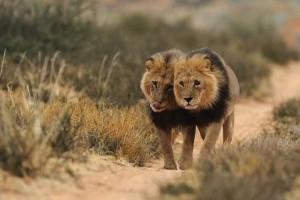documental leones kalahari