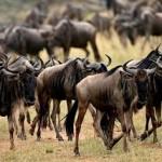 Grandes documentales: La gran migración de ñus