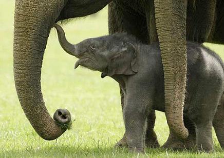 Flipante: Elefante bebé se cae y la manada le ayuda