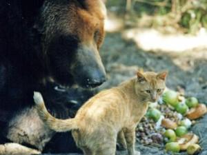 gato oso grizzly